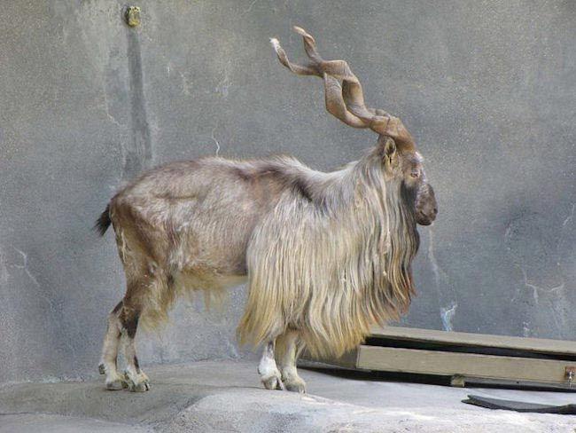 18 фантастических животных, которые живут рядом с нами, и которые могут исчезнуть навсегда, изображение №16